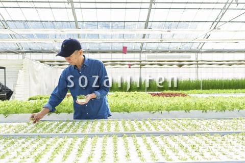 水耕栽培のハウスで働くシニアの男性
