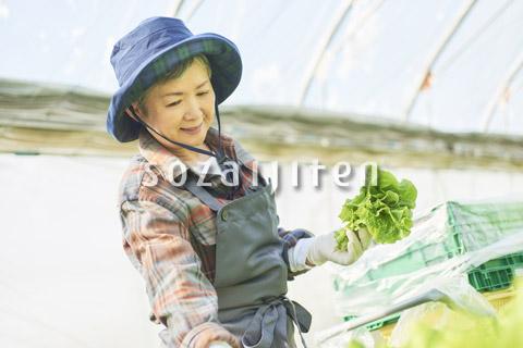 サンチュを収穫するシニアの女性