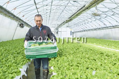 サンチュを収穫するシニアの男性