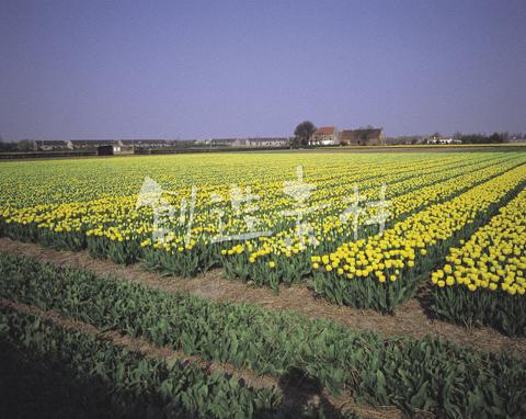 リッセのチューリップ畑