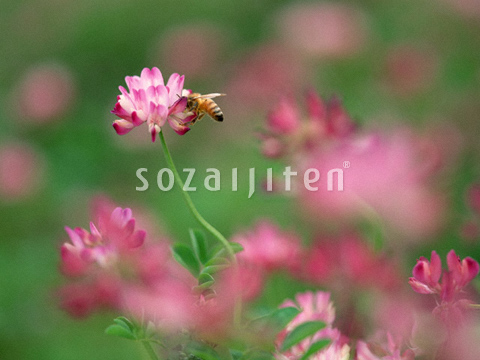 レンゲとミツバチ