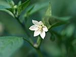 シシトウの花