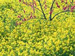 ナノハナ畑