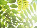 ニセアカシアの葉