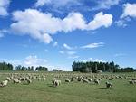 牧場とヒツジ