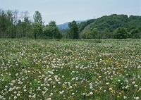 タンポポの花畑