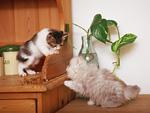 日本猫とペルシャ