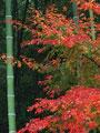 タイトル:紅葉と竹