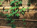 外垣とアサガオの葉