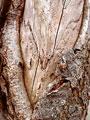 サクラの樹皮