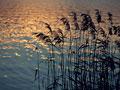 タイトル:ヨシと湖