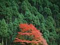 紅葉と森林