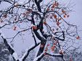 タイトル:柿の木