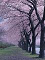 タイトル:桜並木