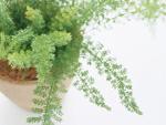 アスパラガスメイリーの鉢植え