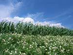 トウモロコシ畑と花