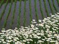 花とたんぼ