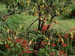 柿の木とヒガンバナ