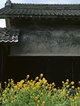 菜の花と家