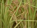 稲にとまるトンボ