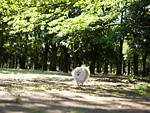 公園を走るポメラニアン