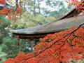 タイトル:紅葉のカエデ