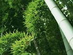 茂る竹の葉
