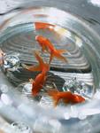 金魚鉢のキンギョ