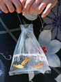 縁日の金魚