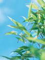 タイトル:笹の若葉