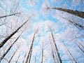 カラマツ林の樹氷