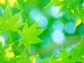オオモミジの葉