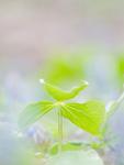 エンレイソウの葉