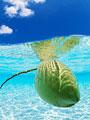 海中のヤシの実