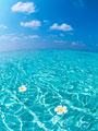 海に浮かぶプルメリア