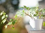 グレープアイビーの鉢植え