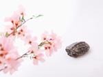 眠る亀と桜