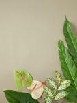 フレーム状の葉