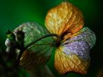 水滴がついたアジサイの花