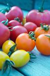 収穫彩りトマト