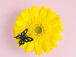 ガーベラにとまる黒い蝶