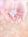 桜の花を持つ子供の手