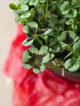鉢植えのクローバー