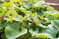 タイトル:サツマイモの葉