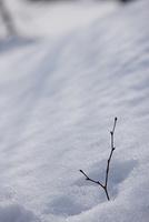 雪の中の枝