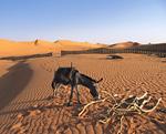 砂漠のロバ