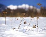雪原と枯れ草