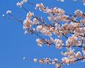 タイトル:桜