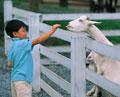 タイトル:少年とヤギ