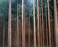 タイトル:杉林